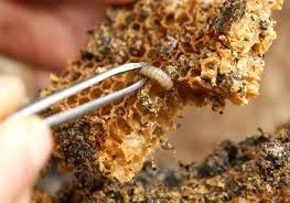 личинка пчелиной огневки